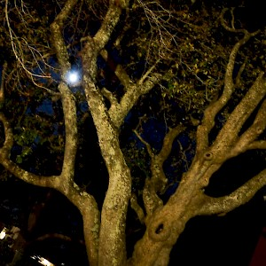Picture of Tree in Ghostly Williamsburg, Virginia