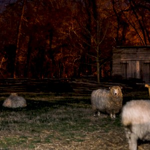 Sheep in Williamsburg